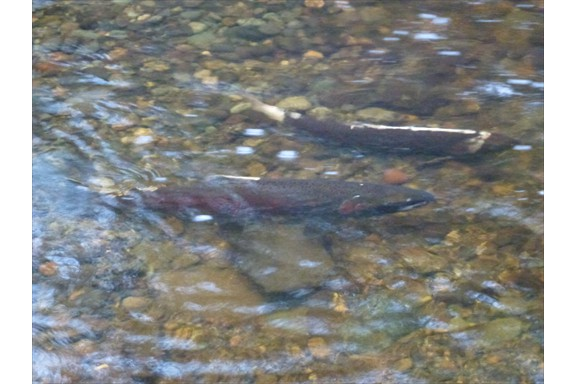 Salmon spawning upstream