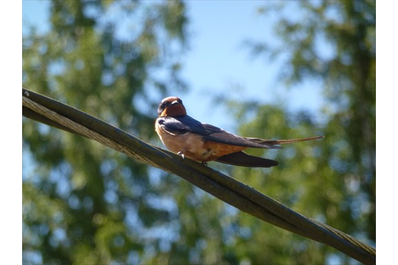 Wild life on our campus: Barn Swallow