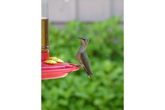 Wild life on our campus: Hummingbird