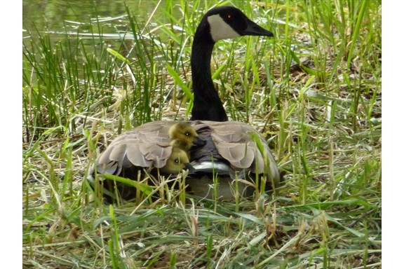 Wild life on our campus: Canadian Goose and Goslings