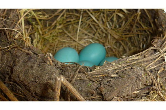 Wild life on our campus: Robin's Eggs